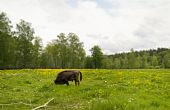 picture of aurochs  - this picture shows a bull on the nature - JPG