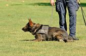 picture of working animal  - A police K9 dog works with his partner to aprehend a bad guy during a demonstration - JPG