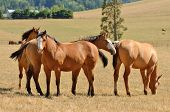 foto of paint horse  - Group of western paint horses on a ranch during th summer - JPG