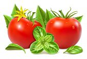 Red ripe tomatoes with water drops, leaves, blossom and basil. Vector illustration.