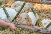 Feeding lamb.
