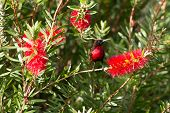 Scarlet-chested Sunbird On A Flower