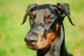 Close Up Black Doberman Dog On Green Grass Background