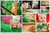 Peaceful Red Tabby Male Kitten.