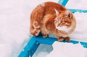 Red Cat Walking In White Snow