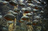 image of piranha  - A large flock of carnivorous piranhas in the water
