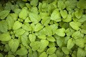 Green lemon balm herb leaves growing in herbal garden from above