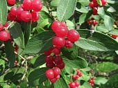 European Nightshade or Bittersweet Berries Showing full color