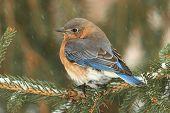 Female Eastern Bluebird In Snow