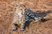 pic of veld  - A Cheetah lying on the ground in the bush veld of Namibia completely visible - JPG