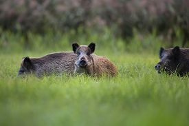 image of boar  - Wild boars in the clearing - JPG
