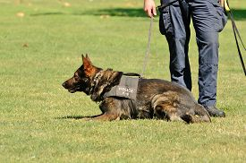 stock photo of working-dogs  - A police K9 dog works with his partner to aprehend a bad guy during a demonstration - JPG