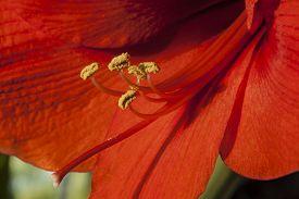 foto of belladonna  - AmaryllisAmaryllis belladonna close up of flowering plant - JPG