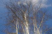 stock photo of birching  - Silver birch trees in winter against a blue sky  - JPG