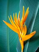pic of bird paradise  - Closeup shot of the bird of paradise flower on green leaves