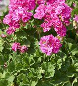 stock photo of geranium  - detail of geranium in a meadow in la spezia - JPG