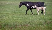 stock photo of paint horse  - Paint mare with foal in open field - JPG
