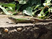 picture of lizards  - Green lizard enjoying the photography in the spring sunshine - JPG