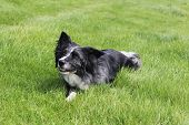 foto of border collie  - A mature border collie giving a toothy grin for the camera - JPG