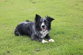 pic of border collie  - Blue merle border collie looking happy and relaxed - JPG