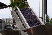 Grapes On A Conveyor Belt