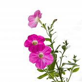 stock photo of petunia  - Seedlings of petunia on a white background - JPG