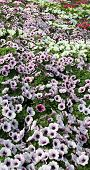 stock photo of greenhouse  - background flowers potunia in the great greenhouse - JPG