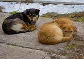 image of stray dog  - Two stray dogs bask in the place of passage of a heating - JPG