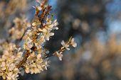image of tree-flower  - Apple tree flowers - JPG