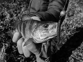 pic of caught  - Freshly caught perch in the hands of the fisherman - JPG