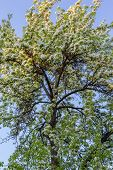 image of naturalist  - flowering fruit tree in the young naturalist station - JPG