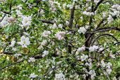 picture of naturalist  - flowering fruit tree in the young naturalist station - JPG