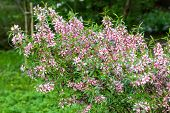 stock photo of naturalist  - pink flowering shrub in the young naturalists station - JPG