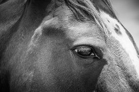 picture of chestnut horse  - horses eye - JPG
