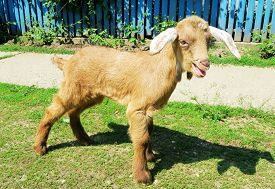 picture of baby goat  - Brown baby goat in the courtyard - JPG