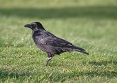 Carrion Crow (European)