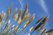 Exotic tall grasses