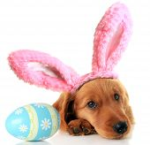 Irish Setter puppy wearing Easter bunny ears next to an Easter egg.  poster