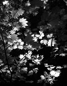 Back-Light Black And White Leaves