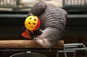 African Grey With Toy