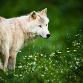 Arctic Wolf (Canis lupus arctos) aka Polar Wolf or White Wolf - Close-up portrait of this beautiful  poster