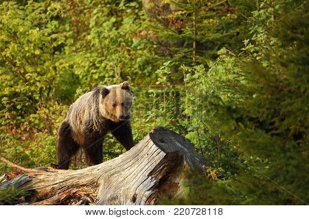 poster of Ursus arctos. Brown bear. The photo was taken in Slovakia. The brown bear is found throughout Europe. Beautiful bear image. Nature of Slovakia. Wild nature. Free nature. From the life of the bears. Nature. Forest. Autumn nature of Europe. Europe.