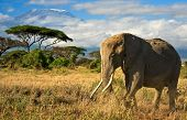 stock photo of kilimanjaro  - African elephant in front of snow covered Mt - JPG