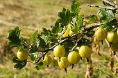 Branch Of A Bush Of A Gooseberry