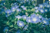 Morning Glory. Blooming Flower In Garden. Blue Flora poster