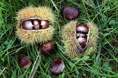 Chestnuts In The Countryside