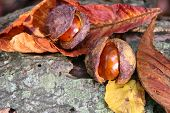 Conkers And Autumn Leaves