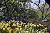 Tulip Garden In New York Central Park