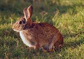 stock photo of peter cottontail  - Wild brown rabbit looking for food in a field - JPG