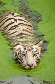 foto of sundarbans  - Beautiful blue eyed royal bengal white tiger swimming in algae lake - JPG